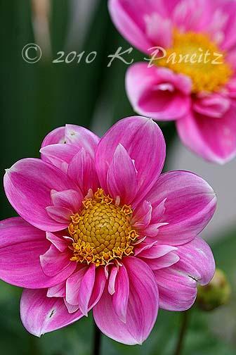 Dahlia 'Rosita1'
