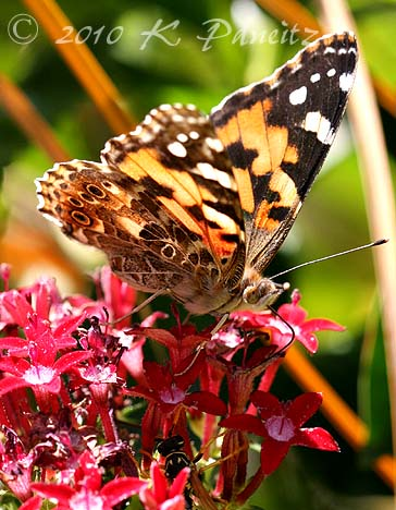 Painted Lady on Penta