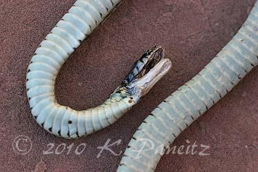 Garter snake3