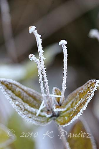 Frosted Clematis