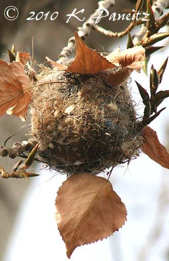 Bullocks Oriole nest