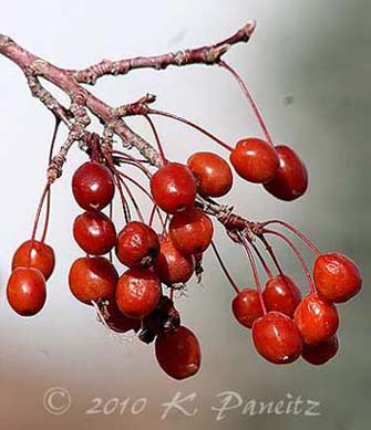 Plum tree fruit1