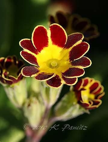 Primula Polyantha 'gold laced'