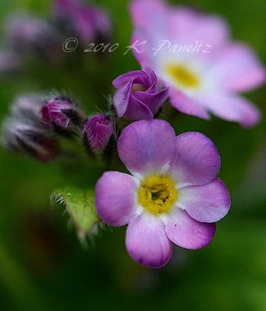 Myosotis 'Victoria Rose'