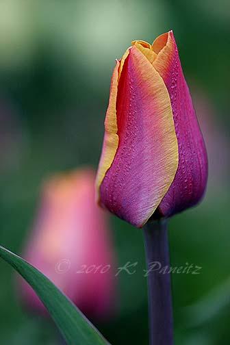 Tulip 'Indian Summer'1