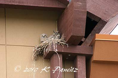 Owls on nest