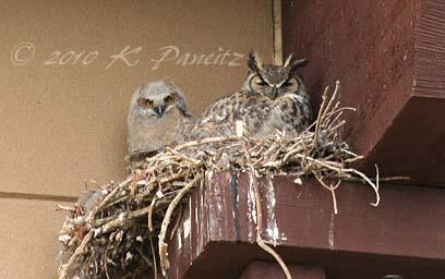 Owls on nest1