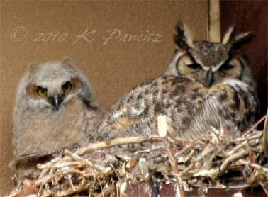 Owls on nest2