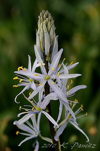 Camassia Bloom