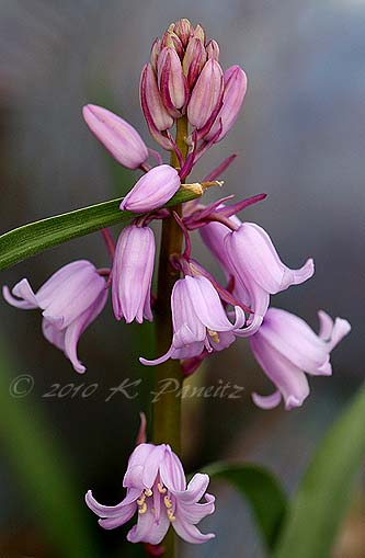 Pink Spanish Bluebells
