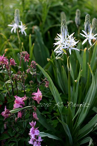 Camassia Bloom3