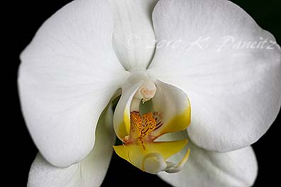 Phal Orchid1