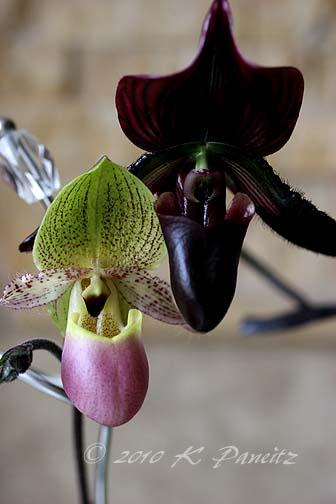 Paph orchids
