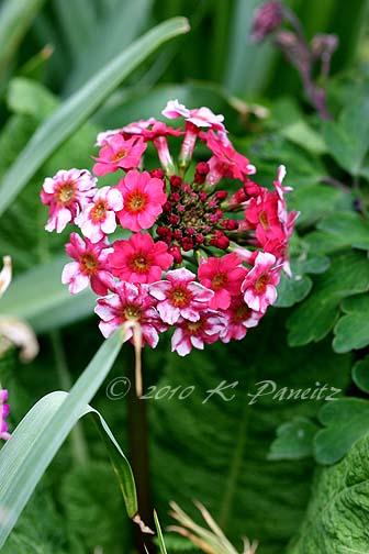 Primula japonica 'Miller's Crimson'2