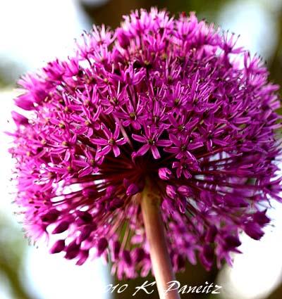 Allium 'purple sensation'1