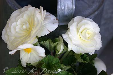 White Tuberous Begonias