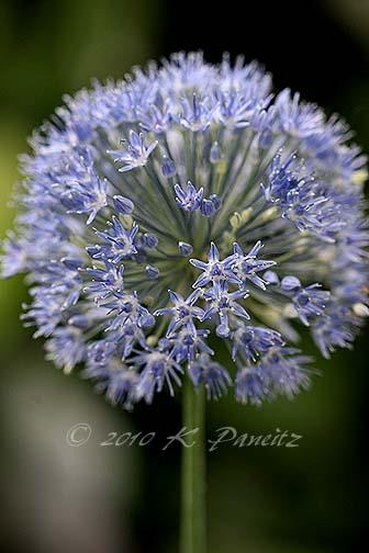 Allium azureum2