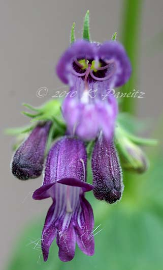 Penstemon 'whippleanus'