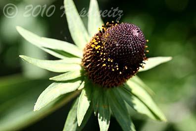 Echinacea 'green wizard'