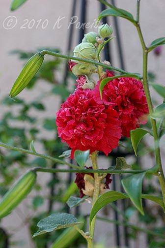 Alcea Double rose