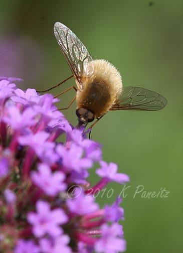 Tachinid Fly on Verbena