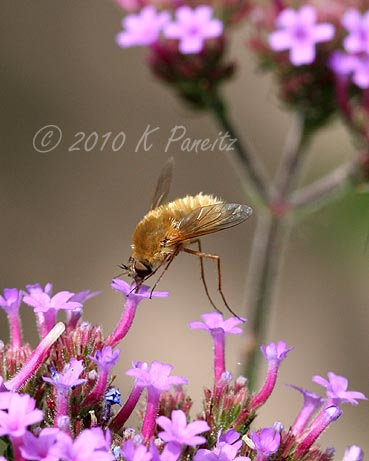 Tachinid Fly on Verbena1