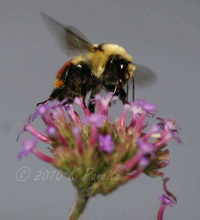 Bumblebee on verbena bonariensis