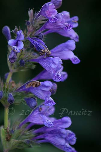 Nepeta yunnanensis 'Blue Dragon'