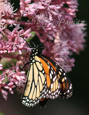 Monarch on Joe Pye1