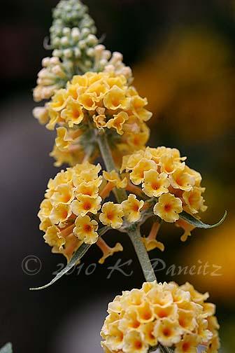 Buddleia 'Honeycomb1'