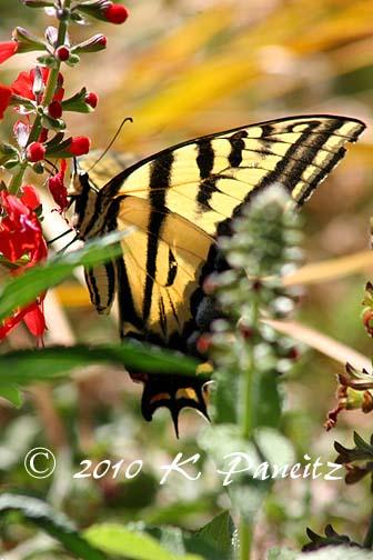 Swallowtail on Salvia