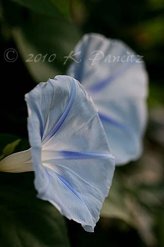 Morning Glory 'blue star'