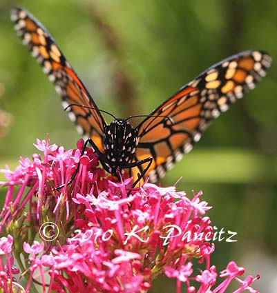Monarch on Centranthus