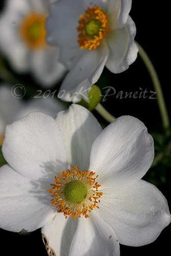 Japanese Anemones1