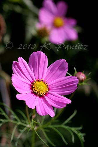Cosmos Pink