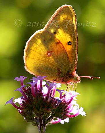 Verbena and sulfur butterfly