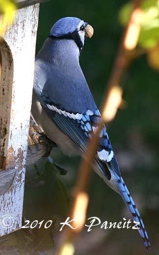 Blue Jay wPeanut