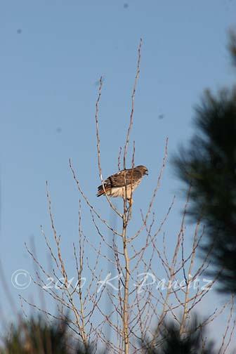 Red Tail Hawk2