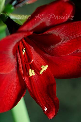 Amaryllis 'Red Pearl2'