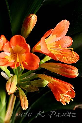 Clivia blooms2