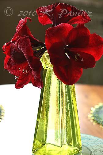Amaryllis 'Red Pearl' Vase