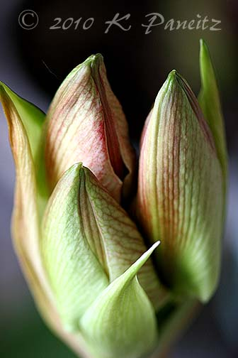 Amaryllis 'Clown' buds