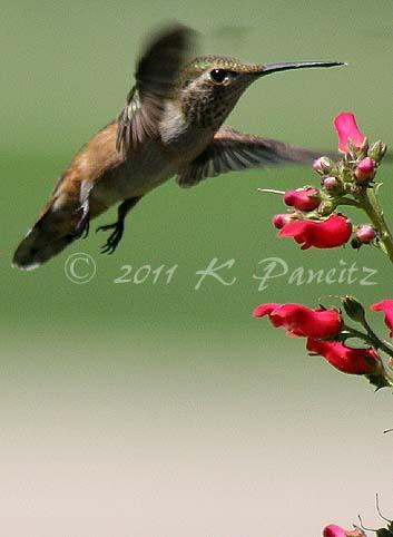 Rufous Hummingbird15