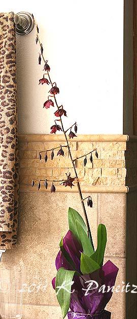 Oncidium Orchid 'Calm Rainbow'