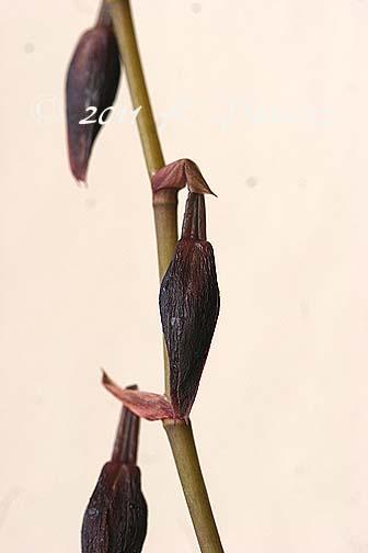 Oncidium Orchid 'Calm Rainbow3'