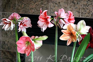 Amaryllis display