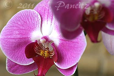 Phal pink orchid