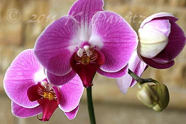 Phal pink orchid1