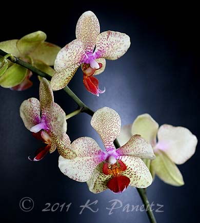 Phal yellow spotted orchid4