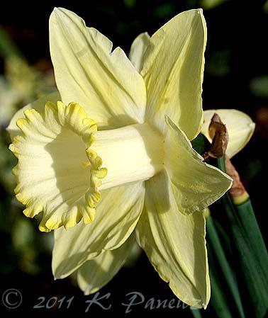 Narcissi 'Lemon Glow'
